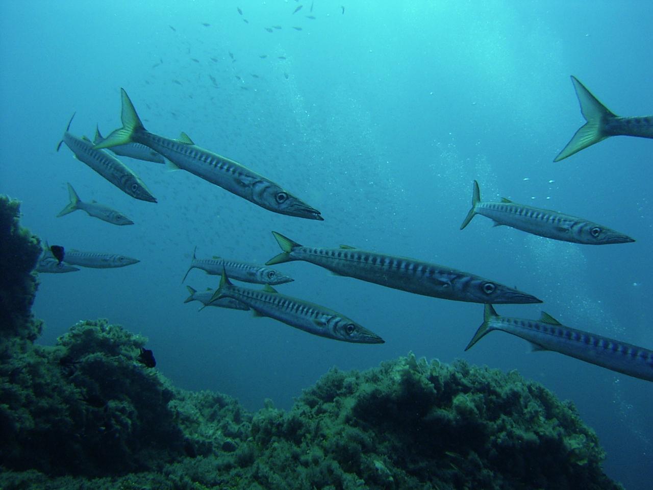 spinosa-barracuda